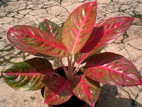 Pupuk Untuk Bunga Keladi tentang tanaman aglaonema tukang taman jakarta jasa