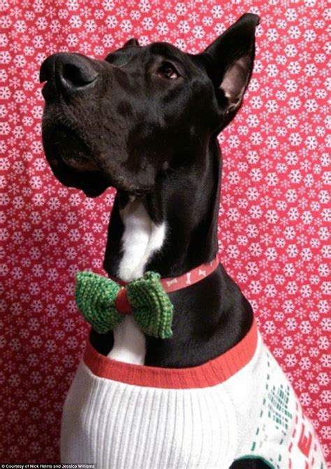 Dogs Of War Size M rocko the 167lb great dane is vying for the title of the
