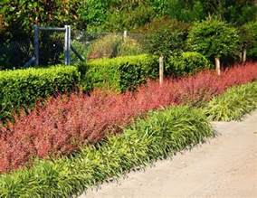 Affordable Flowers Red Barberry Berberis Thunbergii Evergreen Growers