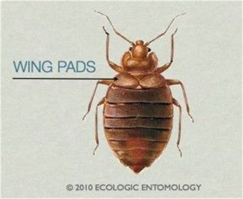 bed bug wings bed bug wings bug facts news pinterest