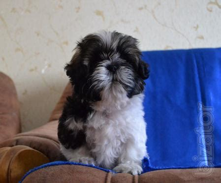 shih tzu delivering puppies dogs chrysanthemi shih tzu will deliver buy on www bizator