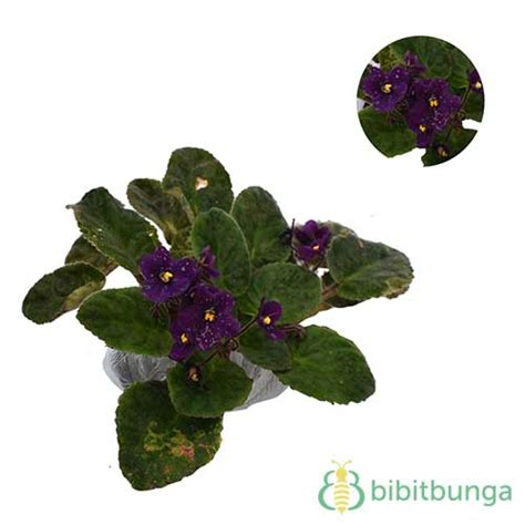 tanaman dark purple african violet bibitbungacom