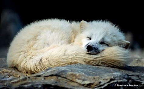1000 Images About Arctic Animals On Arctic - 1000 ideas about arctic fox on white fox