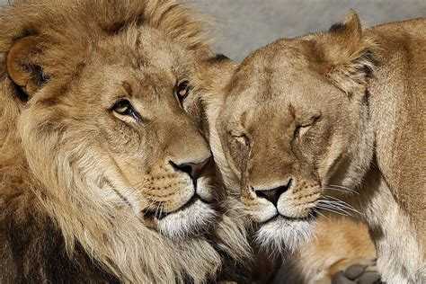difference between lion and lioness lion kills lioness dallas zoo lion shocks trainers