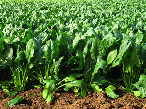 Spinach Garden by Researchers Engineer Spinach Plants To Sense Explosives