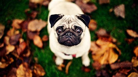 fall pug pug wallpapers wallpaper cave