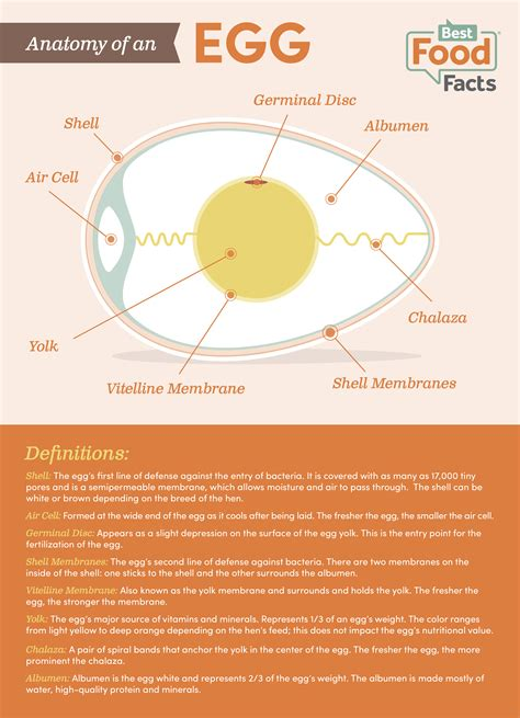 protein 2 eggs anatomy of an egg bestfoodfacts org
