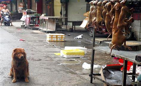 yulin festival 10 000 chiens et 4000 chats bient 244 t abattus pour le festival de l horreur et