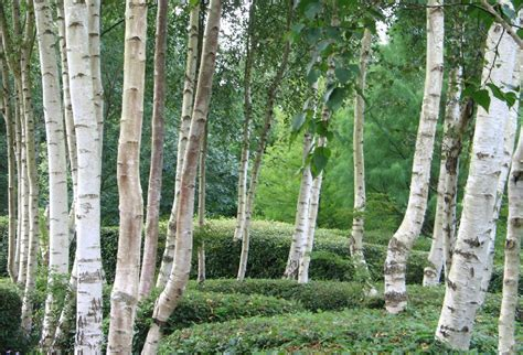 white weeping birch  pot   plants garden