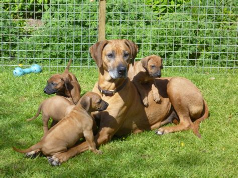 rhodesian ridgeback mix puppies for sale wolfhound growth chart breeds picture