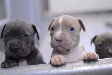 puppy nose all blue pitbull puppies www pixshark images