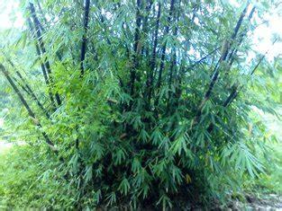 Jual Bibit Bambu Sidoarjo perbanyakan bambu secara vegetatif balai litbang lingkungan hidup dan kehutanan makassar