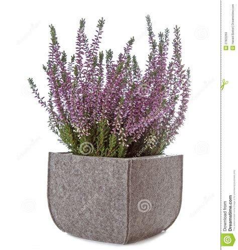 calluna vulgaris in vaso purple calluna vulgaris flowers stock image
