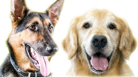 german shepherd vs golden retriever german shepherd vs golden retriever