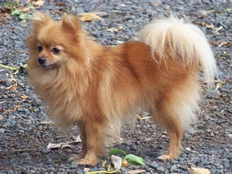 types of pomeranian breeds fluffiest breeds pets world