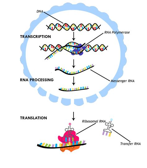 protein synthesis diagram protein translation diagram www pixshark images