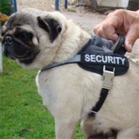 pug harness uk pug harnesses uk for exclusive style and comfort