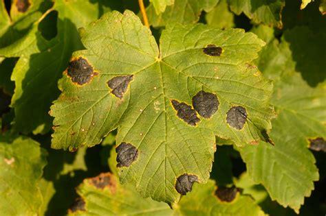 maple tree tar spots maple tar spot disease learn about the of maple tar spot