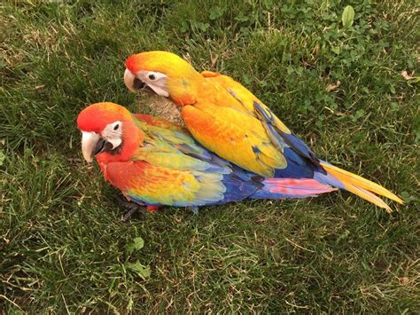 hybrid macaw 139155 for sale in delran nj