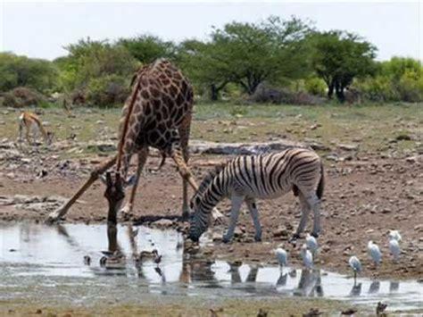imagenes de jirafas y zebras emilio el jirafa y su experienca con amor youtube