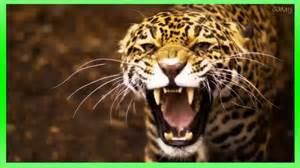 Roar Of The Jaguars Efeito Sonoro De Rugido De On 231 A Pantera Sound Effect