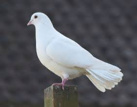 the white dove symbol of peace reflection on being
