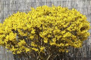 common forsythia varieties types of forsythia bushes for