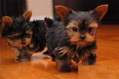 teacup yorkie puppies teacup yorkie puppies for sale dogs puppies louisiana free