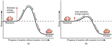 how cells use enzymes enzymes coenzymes and energy