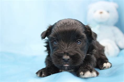 carolina yorkie breeders yorkie poo puppies for sale in carolina yorkiepoo
