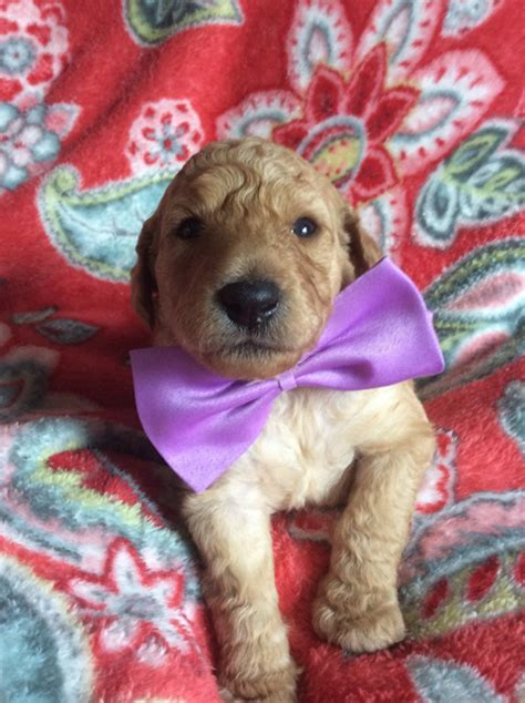 doodle puppies for sale in oregon goldendoodle puppies portland oregon and goldendoodle