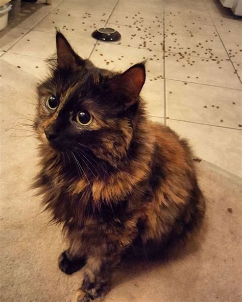 25 best ideas about tortoiseshell cat on pinterest beautiful cats cats and calico cats