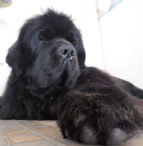 newfoundland puppies cost newf friends grooming safety tips