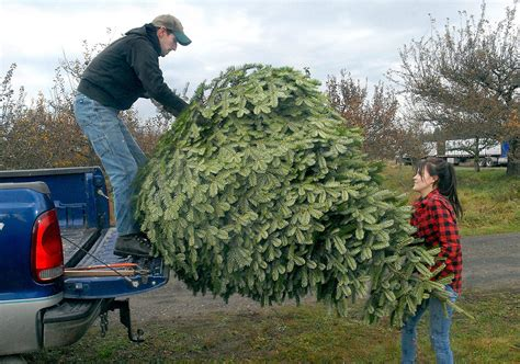 u cut xmas trees langley that special tree peninsula residents u cut options for peninsula daily news