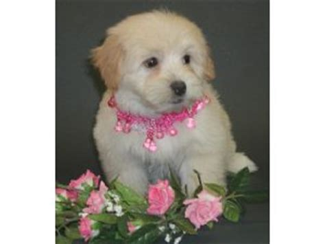 havanese puppies for sale price havanese puppies for sale
