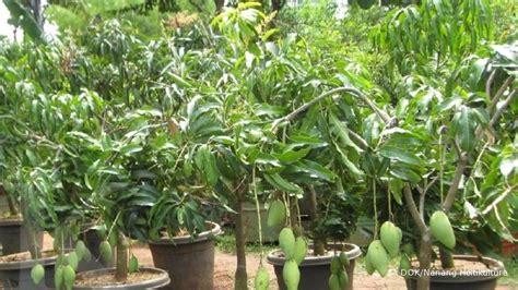 Bbit Mangga Chokanan menumbuhkan cuan dari bibit mangga chokanan 1