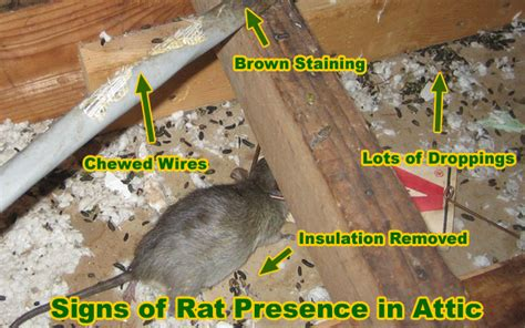 Mice In Walls And Ceiling by Rat Removal Cost Price And How To Remove Rats And Mice