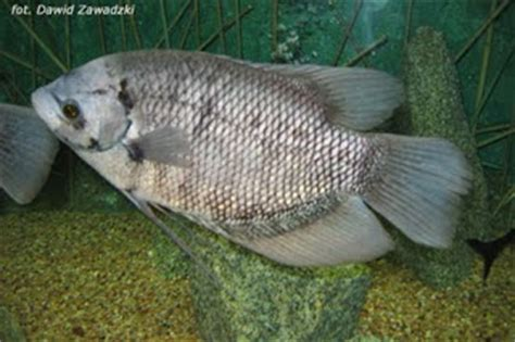 Benih Ikan Gurame Di Lung sejarah ikan gurami kagaku pesca