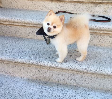 cute pomeranian haircuts ted s haircut just in time for spring handsome