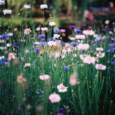 Esmonia Lopperio Flower rukkililled the blue cornflower has been the national flower of estonia since 1968 estonia