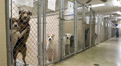 animal shelter dogs canine distemper halts adoptions at wcac ac williamson source