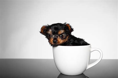 how much to feed a yorkie puppy teacup yorkie puppies dogtime