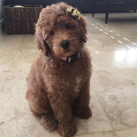 mini goldendoodles omaha ne goldendoodle puppy mcdoodles dogs
