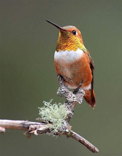 rufous hummingbird in new mexico join us best dolapci y
