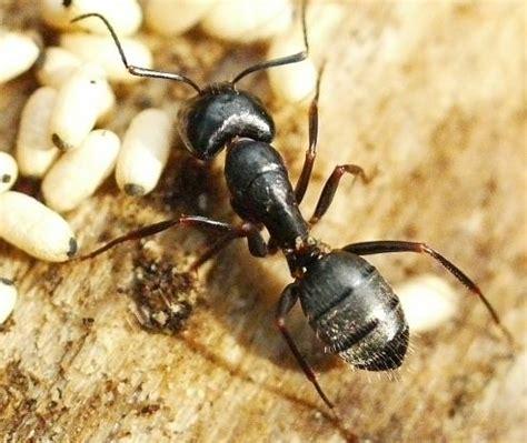 carpenter ants in bathroom carpenter ants extermination tips black jacket bee wiki