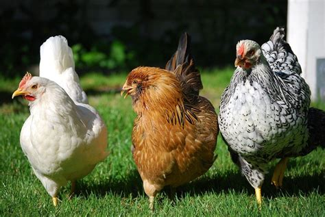Why Raise Chickens In Your Backyard The Many Reasons Backyard Chickens