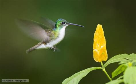 Jig006 To Survive Nature Yellow 26 best images about beautiful andean emerald hummingbird