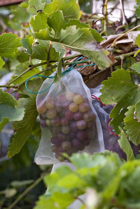 Do You To Use Organic Grapes For A Detox by Use Bags To Protect Grapes From Birds We Purchased Mesh