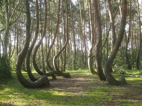 crooked forest poland these strangely bent trees were ancient american gps core77