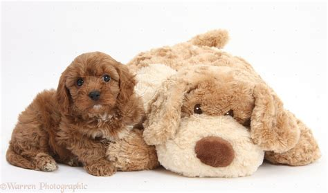 dogs is soft cavapoo pup 6 weeks and soft photo wp29512